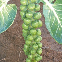 Brussels Sprout Doric F1 Seeds