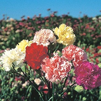 Carnation Chabaud Select Mixture Flower Seeds