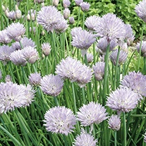 Chive Herb Seeds