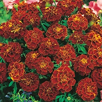 Marigold (French) Red Cherry Flower Seeds