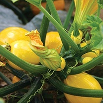 Courgette Floridor F1 Seeds