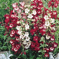 Penstemon Esprit Mixed Flower Seeds