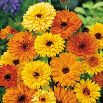 Calendula Touch of Red Flower Seeds