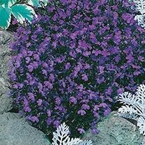 Lobelia (Edging Variety) Crystal Palace Flower Seeds