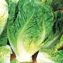 Organic Lettuce Little Gem Maureen Seeds