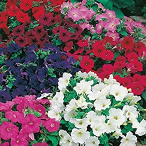 Petunia (Multiflora) Mosaic Mixed F2 Flower Seeds
