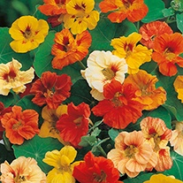 Nasturtium Jewel Mixed Flower Seeds