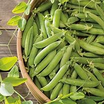 Pea (Snap Type) Sugar Ann AGM Seeds