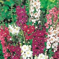 Verbascum Mixed Flower Seeds