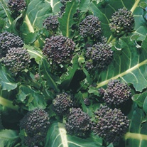Broccoli Purple Sprouting (Early) Seeds