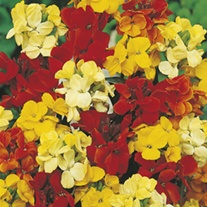 Wallflower Bedder Mixed Flower Seeds