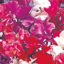 Sweet Pea (Tall) Bouquet Mixed Flower Seeds