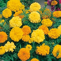 Marigold (African) Crackerjack Mixed Flower Seeds