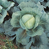 Cabbage Kilaton F1 AGM Seeds