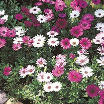Osteospermum Passion Mix Flower Seeds