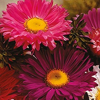 Aster (Tall) Super Chinensis Mixed Flower Seeds