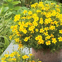 Tagetes Lemon Gem Flower Seeds