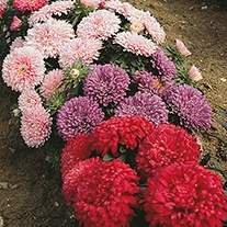Aster (Dwarf) Colour Carpet Mixed Flower Seeds