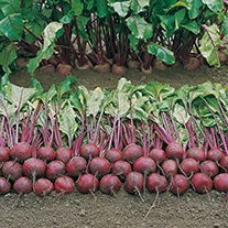 Beetroot Wodan F1 AGM Seeds