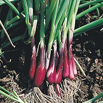 Onion (Spring) North Holland Blood Red (Redmate) Seeds