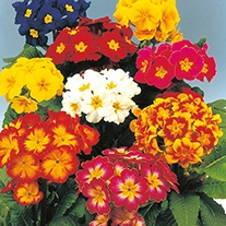 Polyanthus DTB's Special Mixed Flower Seeds