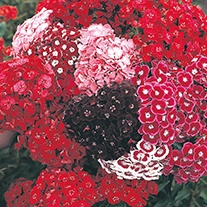 Sweet William DTB's Choice Mixed Flower Seeds