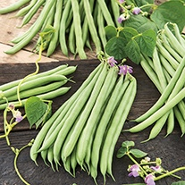 Climbing French Bean Cobra AGM Seeds