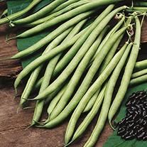 Organic French Bean (Climbing) Cobra AGM Seeds