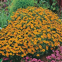 Tagetes Golden Gem Flower Seeds