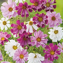 Cosmos Seashells Mixed Flower Seeds