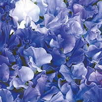 Sweet Pea Singing the Blues Flower Seeds