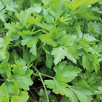Parsley Plain Leaved 2 Herb Seeds