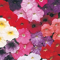 Petunia (Multiflora) Carpet Formula Mixed F1 Flower Seeds
