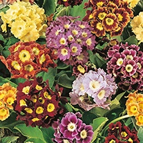 Primula Alpine Choicest Mixed Flower Seeds