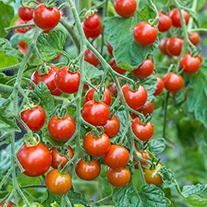 Tomato Sweet Million F1 AGM (Cherry) Veg Plants