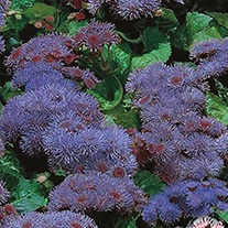 Ageratum Blue Mink Flower Seeds
