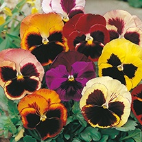 Pansy (Summer) Swiss Giants Mixed Flower Seeds