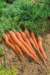 Carrot Sugarsnax 54 F1 AGM Seeds