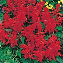 Salvia Blaze of Fire Flower Seeds