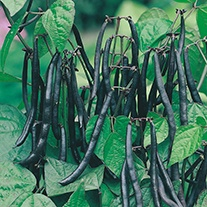 French Bean (dwarf) Purple Teepee Veg Seeds