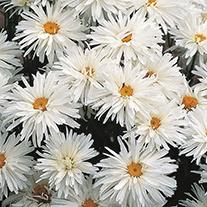 Chrysanthemum Crazy Daisy Flower Seeds