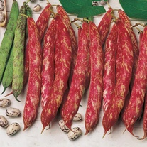 Climbing French Bean Borlotto lingua di fuoco 2 Veg Seeds