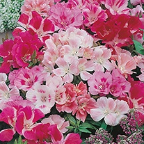 Godetia Dwarf Mixed Flower Seeds