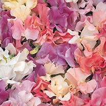 Sweet Pea (Tall) Pastel Sunset Flower Seeds