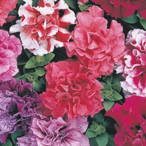 Petunia (Multiflora) Duo Mixed F1 Flower Seeds