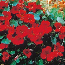 Nasturtium Empress of India Flower Seeds