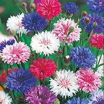 Cornflower Tall Mixed Flower Seeds