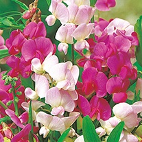 Sweet Pea (Perennial) Everlasting Mixture Flower Seeds