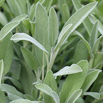 Sage Broad Leaved Herb Seeds