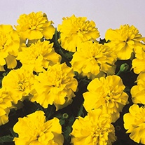 Marigold (French) Bonanza Yellow Flower Seeds